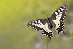 Papilio machaon (HelmiGloor) Tags: papiliomachaon ritterfalter schwalbenschwanz weiach macro makro butterfly schmetterling tagfalter olympusmzuikodigitaled60mm olympusomdem1mkii focusstacking focusbracketing wildlife