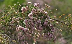 Scholtzia parviflora - Myrtaceae sp-Kings Park Perth (1) (ailognom2005) Tags: flora flowers flowerstrees scholtziaparviflora myrtaceaesp kingsparkperth kingspark perth australia westernaustralia