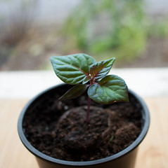 Aji Cito Seedling Growing (TheChili.Life) Tags: plant seedling chilli chili chile peppers hot pepper gyo grow growing seeds soil container pot