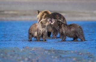 Bear Cub Posturing . . . Behind Mom's Back