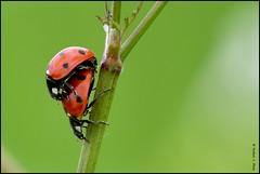 N° 817 / Coccinelle à sept points ( Coccinella septempunctata ) Focus Distance - 1.50 m (Norbert Lefevre) Tags: coléoptère coccinelle nature nikon d500 300mmf4