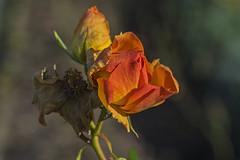 Essen Gruga 14102017 024 (Dirk Buse) Tags: essen nordrheinwestfalen deutschland deu nrw rose natur blüte herbst de germany outdoor olympus omd em5ii zuiko pro 12100 121004 mft m43 gruga farbe color colour