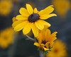 Wildflower Black Eyed Susan (Kat~Morgan) Tags: blackeyedsusan nature flower sonya3000