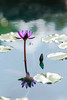 Oct. 4, 2017 (kanokwalee) Tags: 2017 bua kanokwalee kanokwaleepusitanun oct4 zilkerpark citypark copyrighted flora flowers green lotus pond watergarden waterlillies
