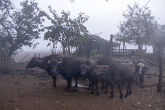Maikal hills - Chhattisgarh - India (wietsej) Tags: maikal hills chhattisgarh india sony a100 zeiss sal135f18z 135 18 buffalos mist fog wietse jongsma bhoramdeo