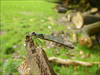 La demoiselle d'octobre (097/365) (chando*) Tags: 365 brussels bruxelles chalcolestesviridis damselfly demoiselle insect insecte lestevert odonate parcdewoluwé project365 exploreoct52017127