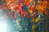 Autumn (Pásztor András) Tags: nature leaf leaflet autumn cold sunrise grape wild fence yellow blue clolorful colors moody tones 50mm 18g dslr nikon d5100 hungary andras pasztor photography 2017