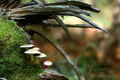 fungi 19.10.2017 -p4d- 038 (event-photos4dreams (www.photos4dreams.com)) Tags: fungi19102017p4d gersprenz landschaft münster hessen photos4dreams p4d photos4dreamz susannahvvergau nature natur fungus fungi pilz pilze mushroom mushrooms