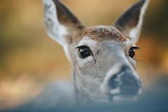 Edit -1-4 (Dane Van) Tags: canadacreekranch atlantamichigan ccr puremichigan doe deer 5dclassic 135l upnorth