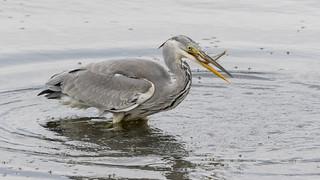 Heron -Chew Valley Lake-7428