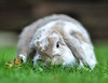the rabbit and the flower (Paul Wrights Reserved) Tags: rabbit flower