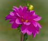Dahlia Bloom and Bud (tresed47) Tags: 2017 201710oct 20171005longwoodmacro canon7d chestercounty content dahlia fall flowers folder longwoodgardens macro october pennsylvania peterscamera petersphotos places season takenby technical us
