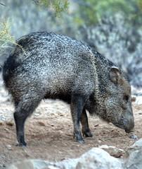 Javelina (JoelDeluxe) Tags: javelina tucson arizona saguaro idontcareaboutthedustspots hdr az joeldeluxe