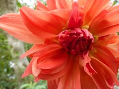 Ντάλια!!  P1030430 (amalia_mar) Tags: flower flora fiori dalia 7dwf