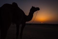 Rajasthan - Jaisalmer - Desert Safari with Camels-66