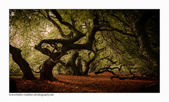 magic forest (H. Roebke (offline for a while)) Tags: canon1635mmf28lisiii de canon5dmkiv foliage herbst nature germany rural wald natur 2017 baum tree niedersachsen color farbe landschaft landscape contrast autumn lightroom süntelbuche forestimages