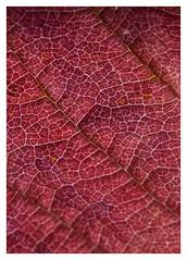 Labyrinthe ! Labyrinth ! (isabelle.bienfait) Tags: automne autumn leaf nervure feuille labyrinth labyrinthe rouge red labirinto blatt folha foglio gebladerte rib rot rojo rosso vermelho röd graphisme grafik grafica autunno fallen caer höst isabellebienfait