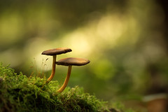 Little twins (Sebo23) Tags: mushroom pilz herbst autumn makro macro makrofotografie bokeh bokelisious nature naturaufnahme green canon6d canon10028l