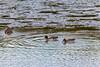 Teal Ducks (johnlinford) Tags: autumn docklands eastindiadockbasin london londondockalnds tealducks teals