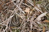 Male adder. (ChristianMoss) Tags: snake adder epping forest nature photography wildlife photo vipera berus animal wood grass bird lizard tree