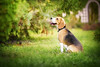 Shiny (Kedves Tamara Photography) Tags: beagle autumn light love nikon 85mm d750 cute adorable amazing colors shiny