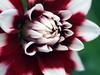 Macro Dahlia 5438 (saxonfenken) Tags: 6668flower 6668 macro flower dahlia red purplewhite challengeyouwinner pregamewinner perpetual