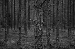 tree (Stefano Rugolo) Tags: stefanorugolo pentax k5 smcpentaxm50mmf17 tree forest woodland underwood monochrome branches blackandwhite bark texture depthoffield bokeh sweden sverige hälsingland nature landscape