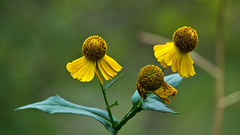 Round Objects !! (Keeping it 'PC') (Bob's Digital Eye) Tags: 2017 bobsdigitaleye canon canonefs55250mmf456isstm depthoffield flicker flickr flowers garden gardenflowers plant t3i yellow
