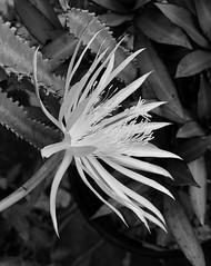 Belle-de-nuit Epyphillum (YAZMDG (16,000 images)) Tags: flower mono monochrome monochromatic nb noiretblanc blackwhite bw flora epyphillumbelledenuit cactus