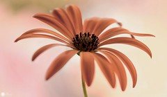 Melody of love (Trayc99) Tags: flower floral floralart floralphotography beautyinmacro beautyinnature beautiful daisy capedaisy macro closeup plant pastel
