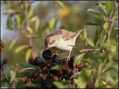 Garden Warbler (Sylvia borin) (christhornton238) Tags: sylvia borin christhornton beautiful capture stunning nature naturalworld norfolk norfolkbirds warhhamgrove east eastcoast eastanglia inexplore top25naturesbeauty