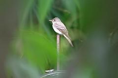 De Cerca (Roberto Segura) Tags: pibi tropical pewee contopus cinereus bird birding birdwatching birds costarica pentax pentaxart pentaxlife ks2 flycatcher