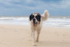 galli cadzand37 (cdandrifosse) Tags: galli saint bernard mer cadzand chien