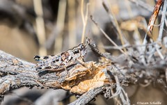 Colorful hopper (Photosuze) Tags: grasshoppers insects bugs oedaleonotusorientis nature wildlife