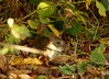 rat (1) (Simon Dell Photography) Tags: rat baby young small cute wild sheffield uk england united kingdom nature wildlife autumn simon dell photography october 2017 shirebrook valley s12 s13 hackenthorpe old new photos