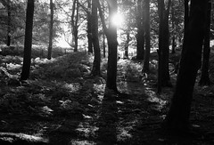 A Forest (plot19) Tags: forest trees dark blackwhite shadow nikon north northern northwest england english uk britain landscape sunrise mood plot19 photography ure
