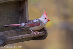 Leucistic Northern Cardinal (Matt Shellenberg) Tags: leucistic northern cardinal northerncardinal leucisticnortherncardinal
