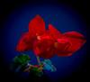 Red flower, blue background (Pejasar) Tags: flower bloom blossom red bluebackground contrasts nature garden begonia jacksonhole wyoming vacation