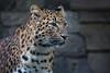 China-Leopardin (Mel.Rick) Tags: zooeberswalde zoo natur tiere animal säugetiere groskatzen raubtiere raubkatzen pantherapardus nordchinesischerleopard northchineseleopard mammals