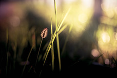 Hello (yarn.spinner) Tags: morning bokeh plant backlit fresh fall october autumn color grass d3 nikon macro nature