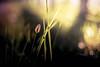Hello (yarn.spinner) Tags: morning bokeh plant backlit fresh fall october autumn color grass d3 nikon macro nature