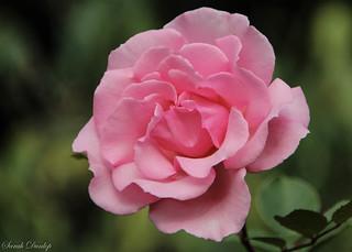 Kew Rose