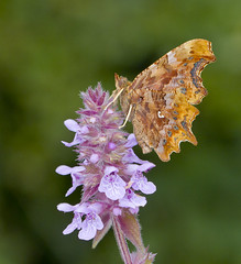 Comma - Polygonia c-album (Ivan Lynas Nature Photography) Tags: