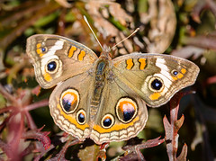 Despite the Frost (tresed47) Tags: 2017 201710oct 20171028homebutterflies buckeye butterflies canon7d chestercounty content fall folder home insects macro october pennsylvania peterscamera petersphotos places season takenby technical us ngc