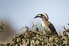 African Grey Hornbill (mayekarulhas) Tags: krugerpark mpumalanga southafrica za hornbill canon safari wildlife wild bird avian