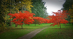 IMG_0651 (bob_rmg) Tags: perrow arboretum tree autumn colour leaves bedale thorp maple