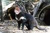 Not impressed (Jakob Prömer) Tags: tasmaniandevil devil bluemountains secretcreek dasyuromoriphia animals nature wildlife sanctuary yawn impression canon photography australia studyabroad wha