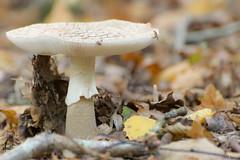 Mushroom !! (thierrymazel) Tags: champignons mushrooms automne autumn bokeh pdc dof profondeurdechamp bois foret nourriture sousbois