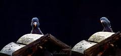 ich sehe was, was du nicht siehst ... (gabrieleskwar) Tags: outdoor vogel taube schwarz vogelhaus licht schatten portrait
