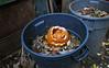 Mr. Pumpkin Hits the Skids (neilsonabeel) Tags: nikonfe2 nikon film analogue pumpkin jackolantern halloween compost